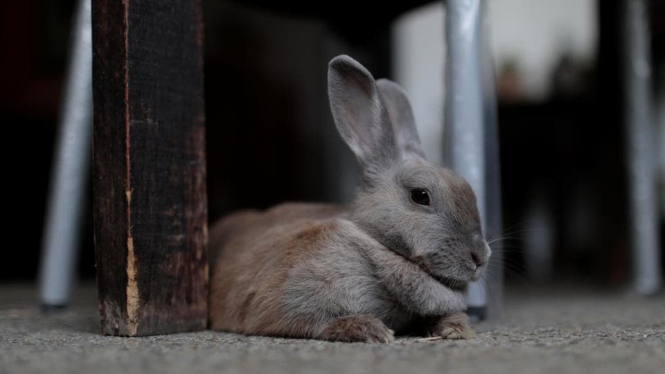 Pet rabbit Lola is pictured at the balcony of an apartment in Caracas, Venezuela.