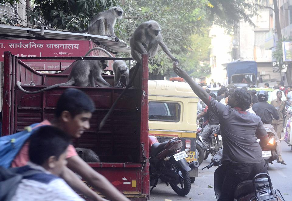 A man feeds biscuits to a monkey on top of a truck after a troop of monkeys came out of nowhere at Sadashiv peth. (Ravindra Joshi/HT PHOTO)