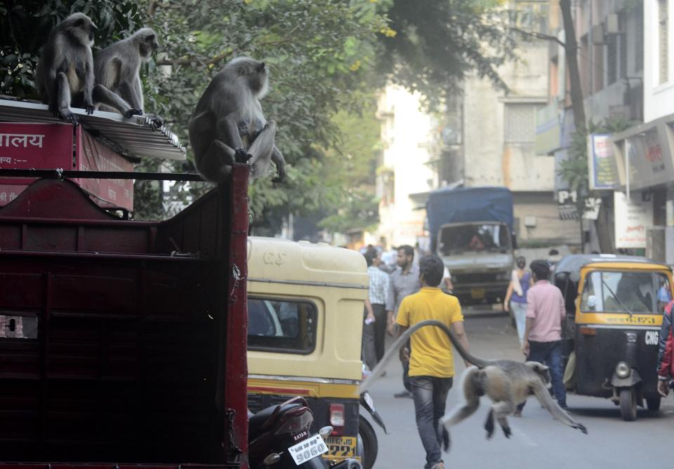 Two monkeys observe the traffic flow as they relax on top of a truck on Sadashiv peth. (Ravindra Joshi/HT PHOTO)