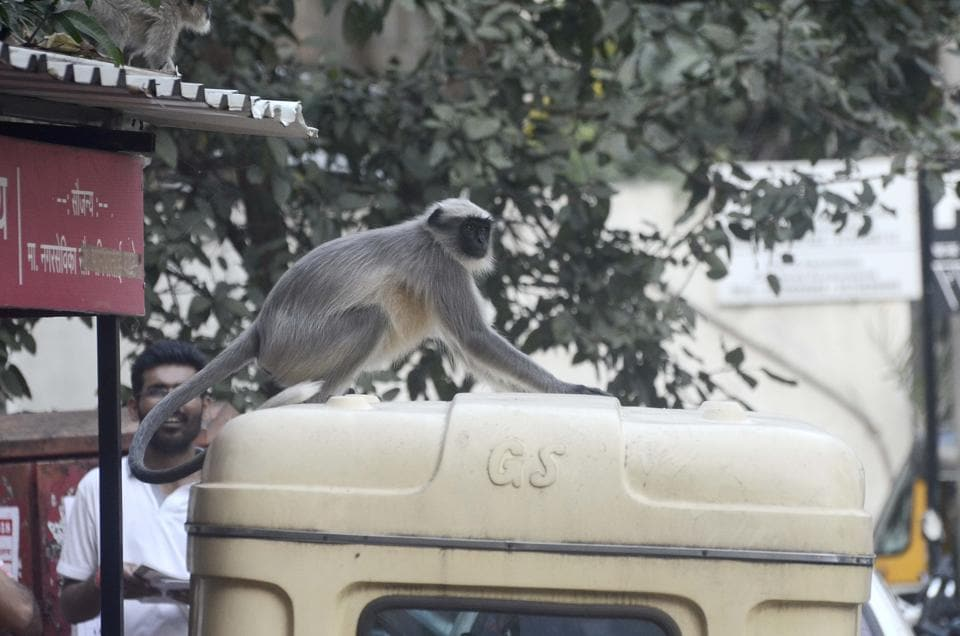 A monkey climbs on top an autorickshaw  while trying to make a jump to a nearby tree. (Ravindra Joshi/HT PHOTO)