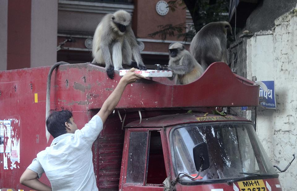 A man feeds sweets to a group of monkeys sitting on top of a minitruck at Sadashiv peth in Pune. (Ravindra Joshi/HT PHOTO)