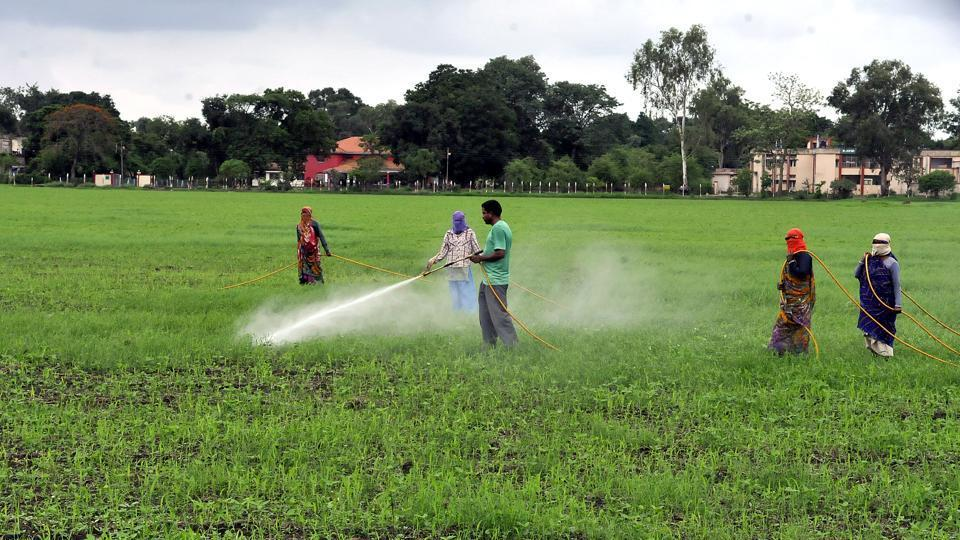 Farmers sprinkle insecticide on soyabean saplings in Indore .