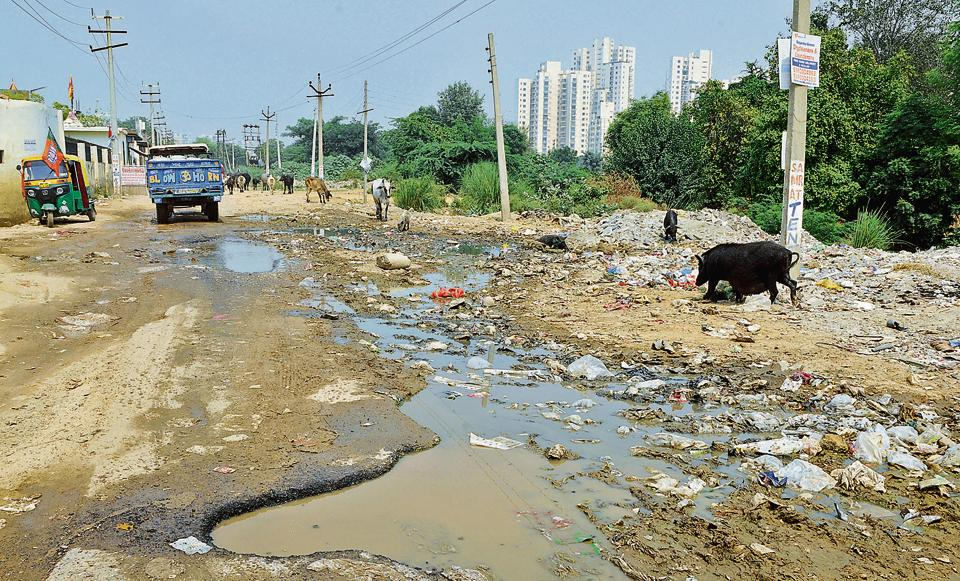 Pigs feast on sewage spill at Sector 67 in ward 25.