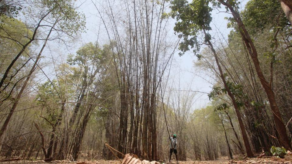 In Gadhchiroli, Maharashtra, bamboo forests are in abundance. In 2014, the Maharashtra cabinet approved the formation of the Tribal Cooperative Bamboo Processing Society. Gadhchiroli was the first district to get community rights for selling bamboo.  (Puneet Chandhok / HT Photo)