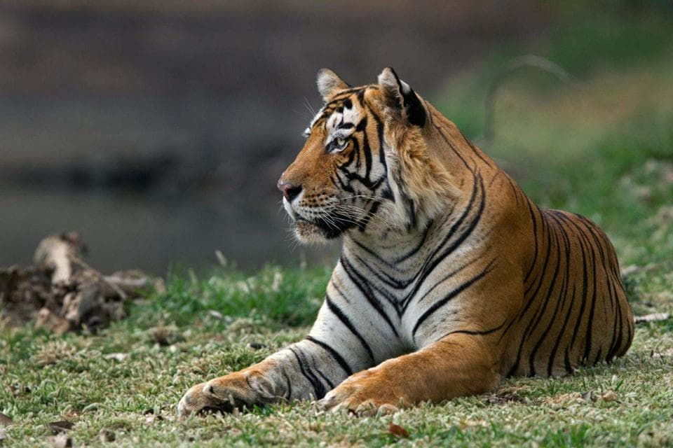 T-33, the male tiger.