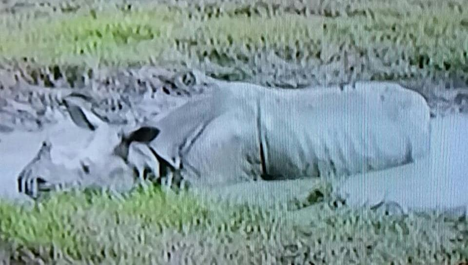 The rhino seen in the picture died in Assam's Kaziranga National Park on Wednesday after a forest guard opened fire at the animal that attacked a patrol team