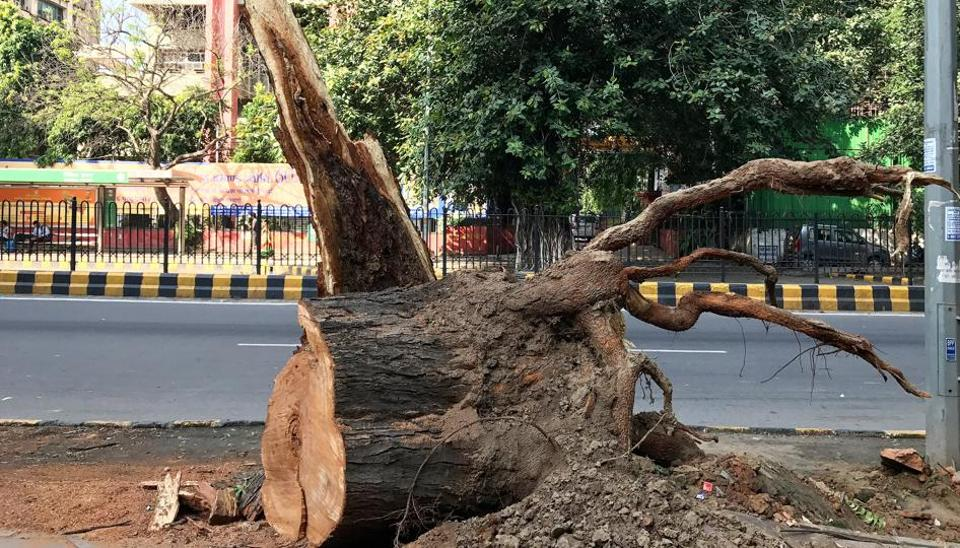 The landmark tree outside the American Centre in central Delhi was felled this month.