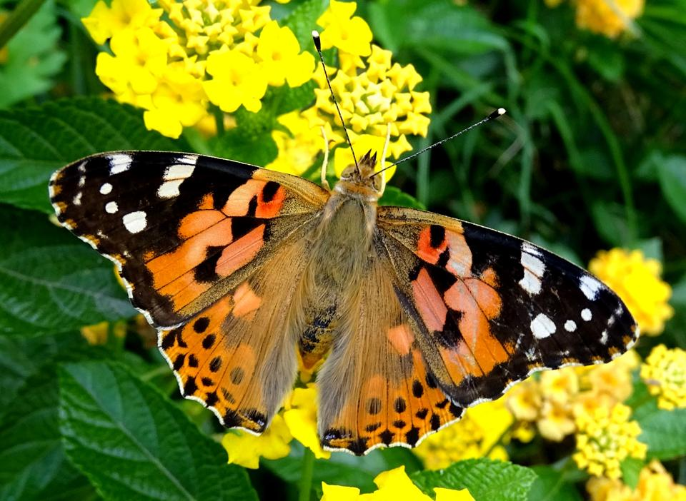 15 teams record 50 butterfly species across delhi painted lady