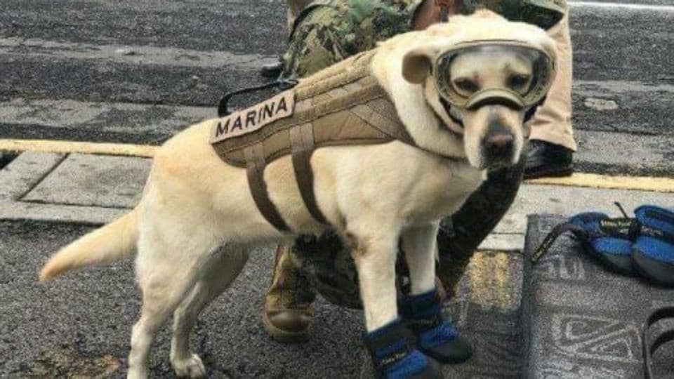 Frida is a rescue dog who has been deployed to find survivors of the Mexico earthquake.
