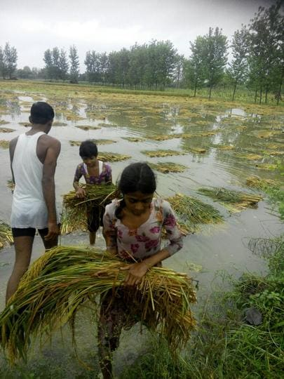 Kharif crops on about 15 lakh hectares were damaged in Sirohi, Pali, Jalore and Barmer districts of Rajasthan because of excessive rain this year.