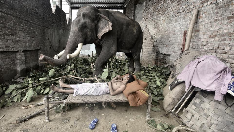 The mahout shares the most intimate relationship with the elephant, as seen in Mukut Yadav's case. They live in the same space like siblings. (Arun Sharma / HT PHOTO)