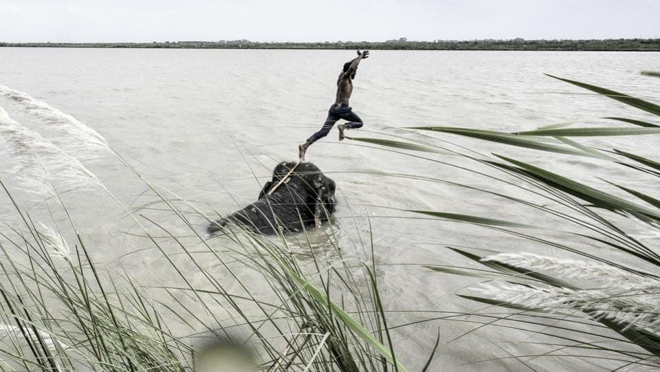 Everyday, Ali's elephants Lakshmi and Dhanmati walk from Wazirabad to the Yamuna to roll around in its waters before grazing on the wild grass that grows on the riverbed.  (Arun Sharma / HT PHOTO)