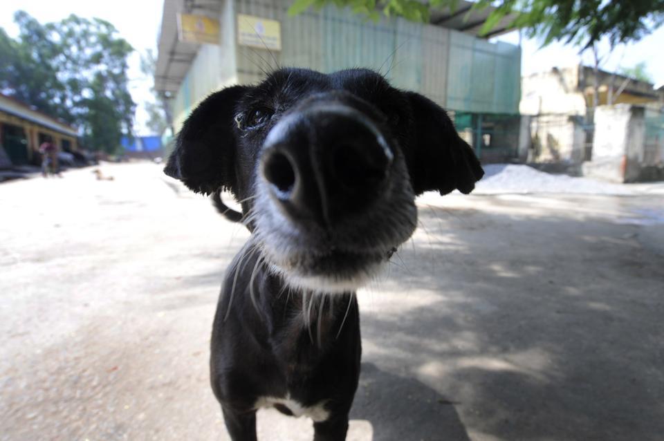 An Indian mongrel dog at Noida shelter for animals.