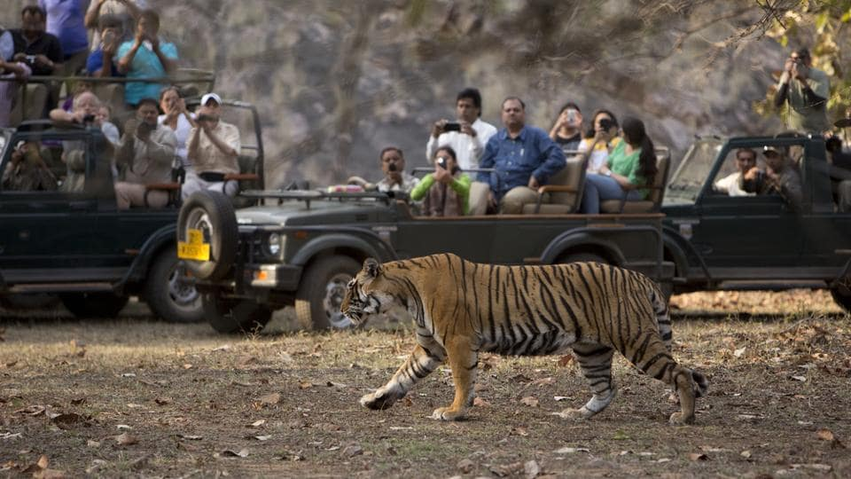 Tourists catch a glimpse of a tiger at Ranthambore.