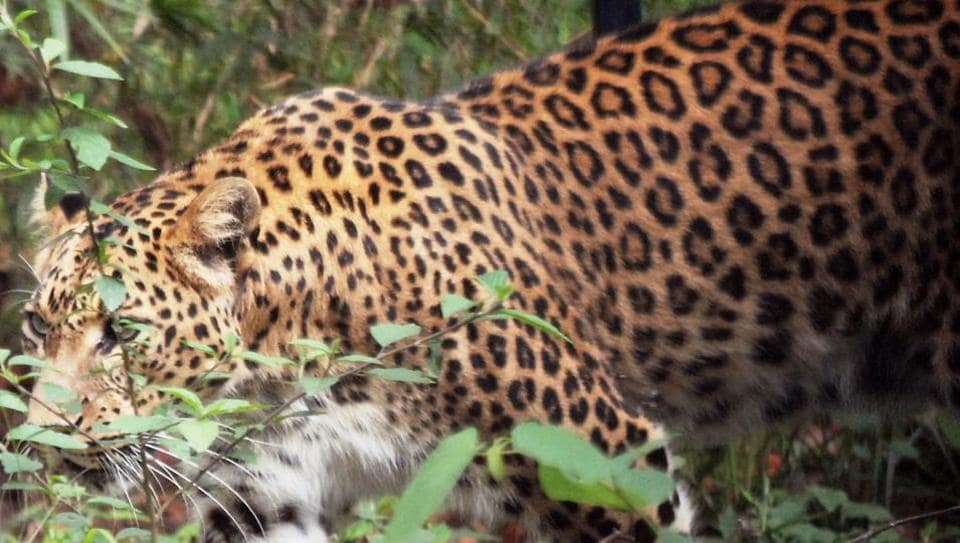 Uttarakhand,Leopards,rescue centres