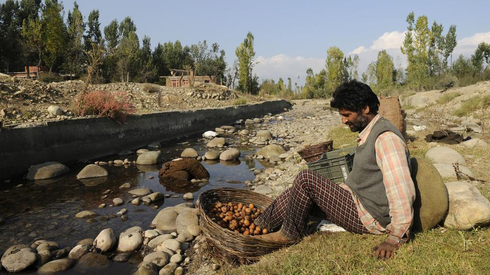 As the period of Kharif harvest sets in, Kashmir's walnut and rice produce is prepared for the markets. The Persian walnut, the most temperate nut grown in India is abundant in Jammu and Kashmir. Meanwhile, the Kashmiris' love for rice is only matched by their affinity for bread. The ripe paddy harvest, in full swing during the months of September and October, presents the sight of men and women winnowing and thrashing away in the fields. (Waseem Andrabi / HT Photo)