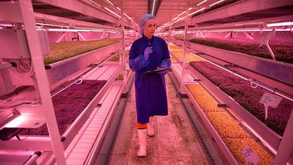 Under an anonymous back street in south London, lies a vast underground air-raid shelter that has been turned into a pioneering urban farm supplying supermarkets and restaurants in the capital. An employee, Daiva, inspects the crops at the urban farm project, 'Growing Underground', in Clapham, south London. (Daniel Leal-Olivas / AFP)