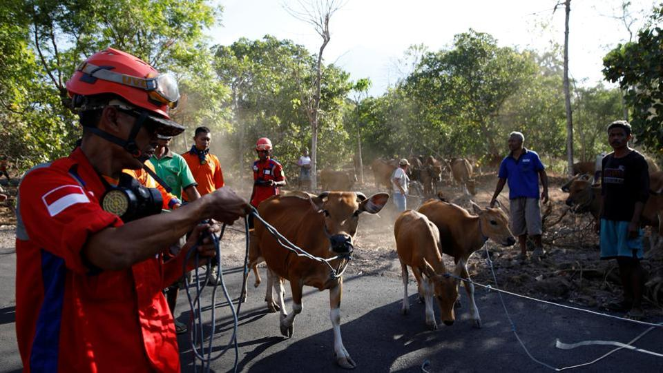A search and rescue team help farmers load their cattle into a truck, near Kubu, Bali. Thousands of cows were left behind in the rural communities where farming is an important livelihood, but local animal husbandry officials are arranging trucks to remove them. Agung, about 70 kilometers to the northeast of the tourist hotspot of Kuta, is among more than 120 active volcanoes in Indonesia. (Darren Whiteside / REUTERS)