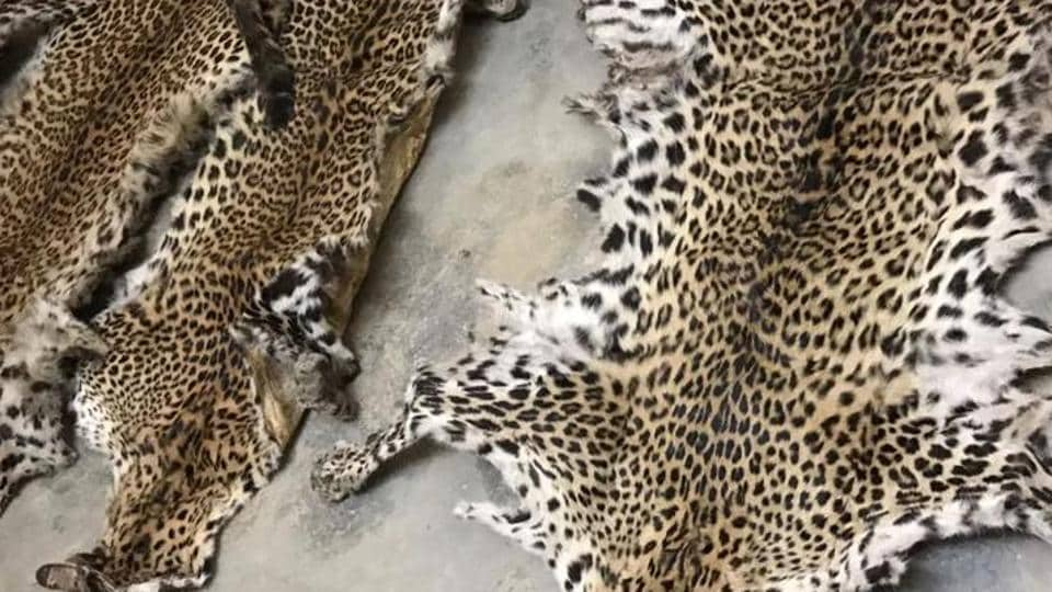 Leopard skins are a prized collection for a section of those interested  in hunting.