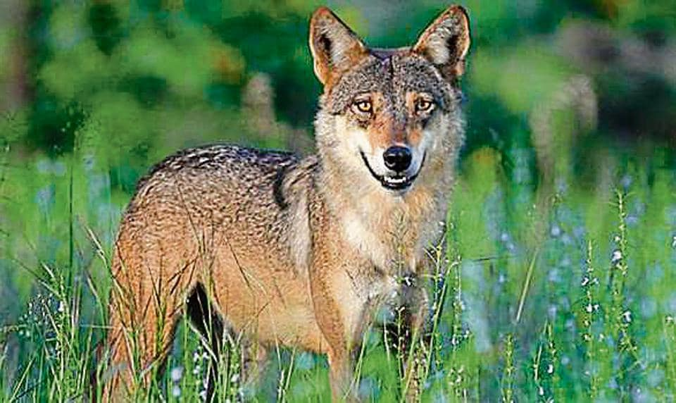 A representative image of Indian wolf. Still acclimatising to the new environment, the seven animals and birds will be released in thier enclosure for public viewing by October 8.
