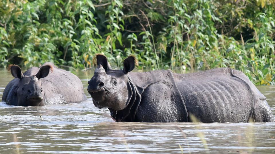 One-horned rhinoceros wade through flood waters in a submerged area of the Pobitora wildlife sanctuary in India's northeastern Assam state on July 5, 2017.