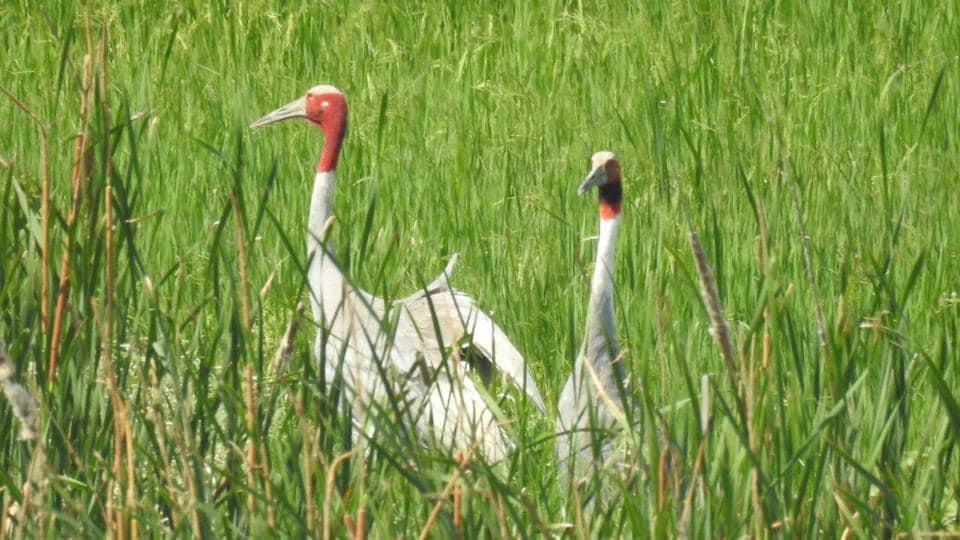 Sarus cranes at a wetland in Kota.