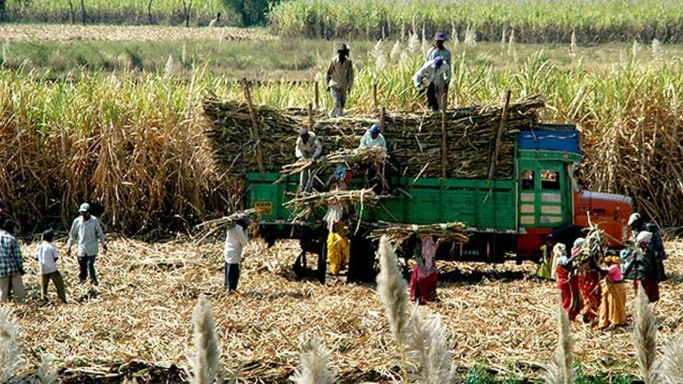 The total cane cultivable area in UP is 22.99 lakh hectares.
