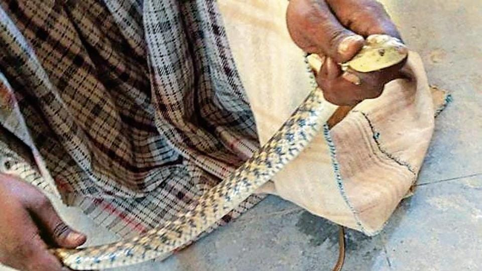 The guard called a snake charmer for help after three snakes were spotted at a government school in Haibowal Khurd.