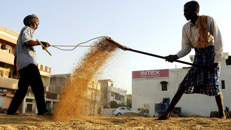 Labourers drying the paddy crop at new grain market in Patiala on Thursday.