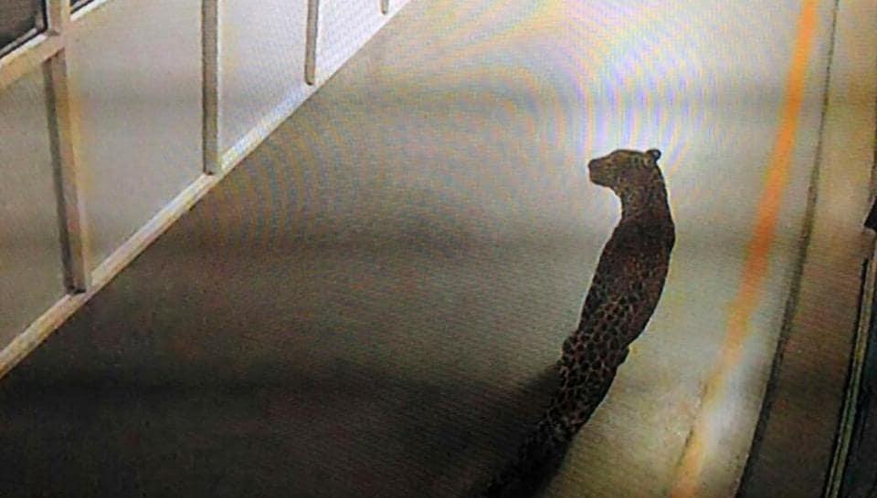 CCTV grab of leopard spotted in the Maruti Suzuki plant in Manesar.