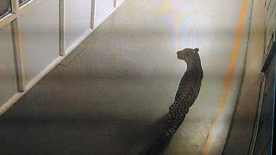A leopard caught on a CCTV camera at Maruti Suzuki's Manesar plant.
