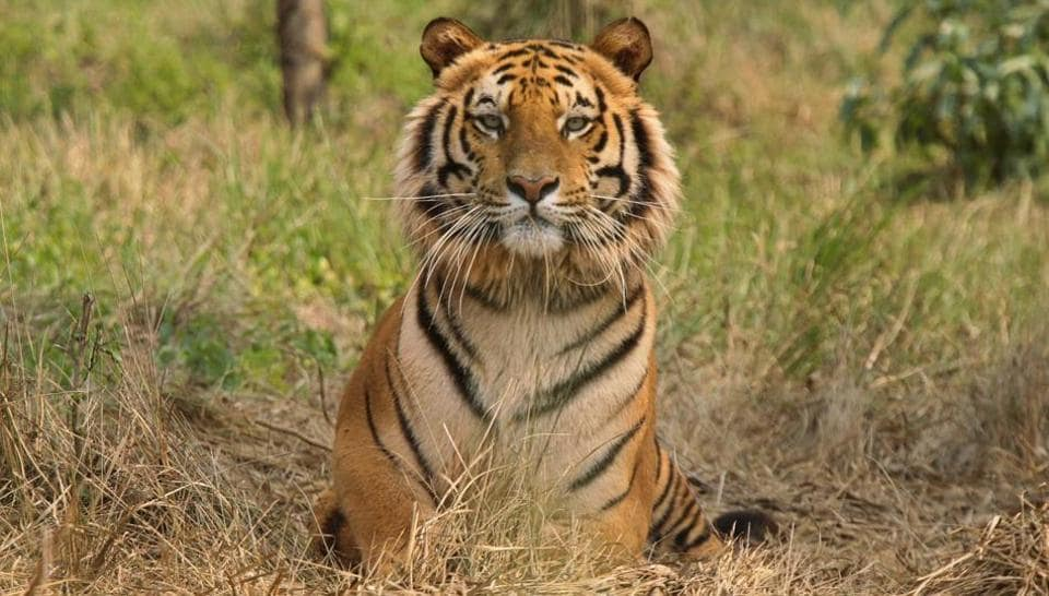 tigers,Madhya Pradesh,Pench