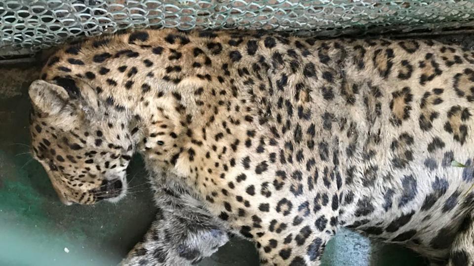 leopard,wildlife,Aravalli