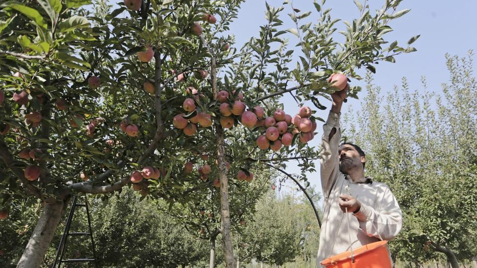 A farmer picks' fresh apples from a tree from orchards in Budgam, some 20 kilometers from Srinagar. Apples of Kashmir are famous in South Asian region and the horticulture is one of the backbones of Kashmir's economy, employing thousands of people directly and indirectly. (Waseem Andrabi / HT Photo)