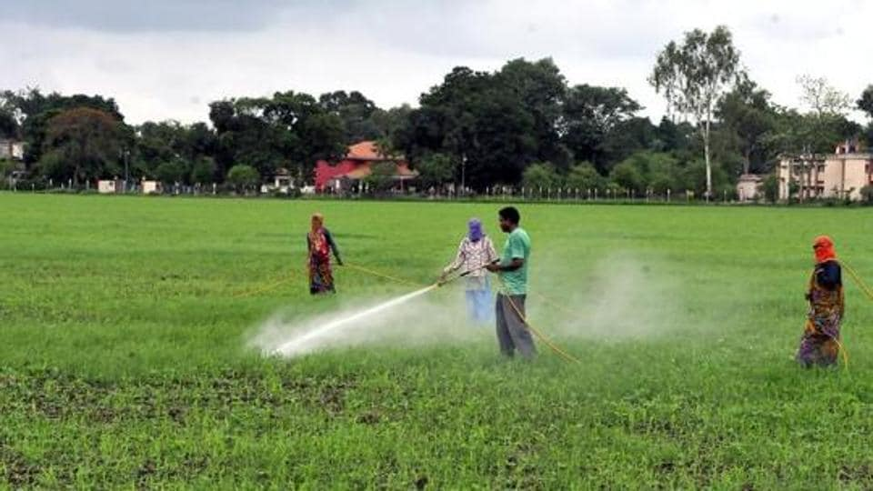 Farmers sprinkle insecticide on soyabean saplings in Indore on July 31, 2014.