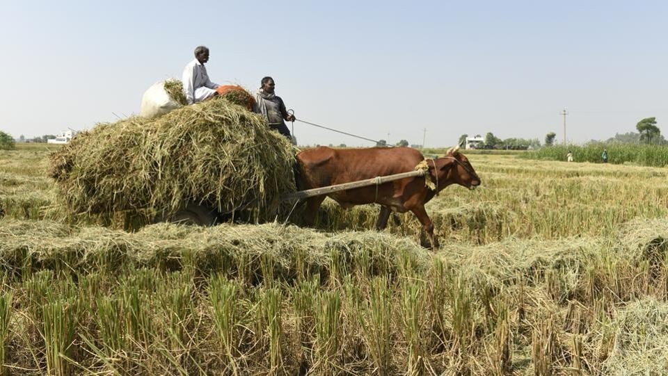 On this farm in Karnal, a farmer claimed that he doesn't burn crops but feeds it to his cattle mainly because of the government crackdown on stubble burning and how it affects the environment. (Burhaan Kinu / HT PHOTO)