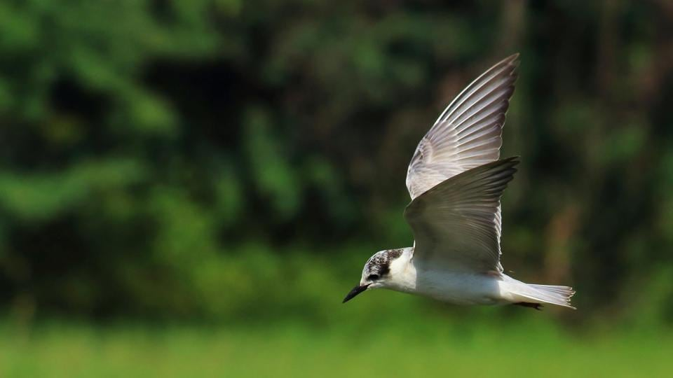 Whiskered tern, which hails from the warmer parts of Europe and Asia, are among the earl;y birds at Sultanpur National Park this year.