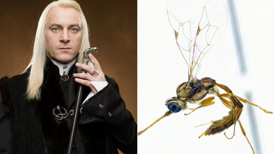 An entomologist in New Zealand has named a wasp after Lucius Malfoy.