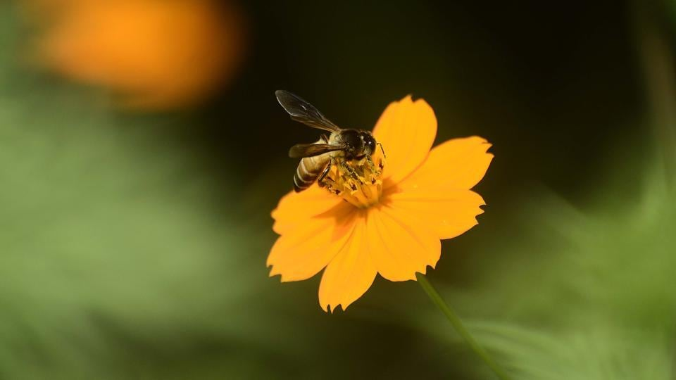 Honeybee collects nectar from orange cosmos flower, bloom both side of Kondhanpur road, off Pune - Satara road, near Khed Shivapur. The road goes to Sinhgad fort from Pune - Satara road. These flowers bloom after every yaer after the rainy season in Pune. (RAVINDRA JOSHI)