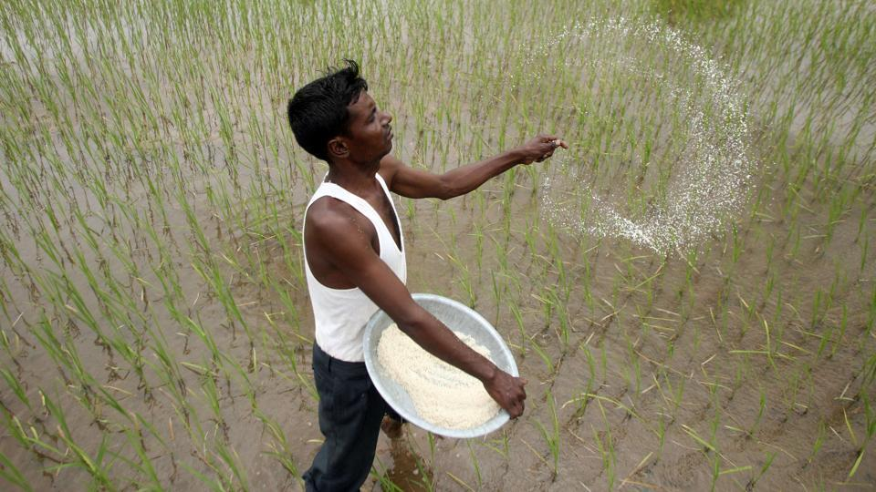 A farmer casts pesticides on his rice paddy field on the outskirts of Ahmedabad July 31, 2009.