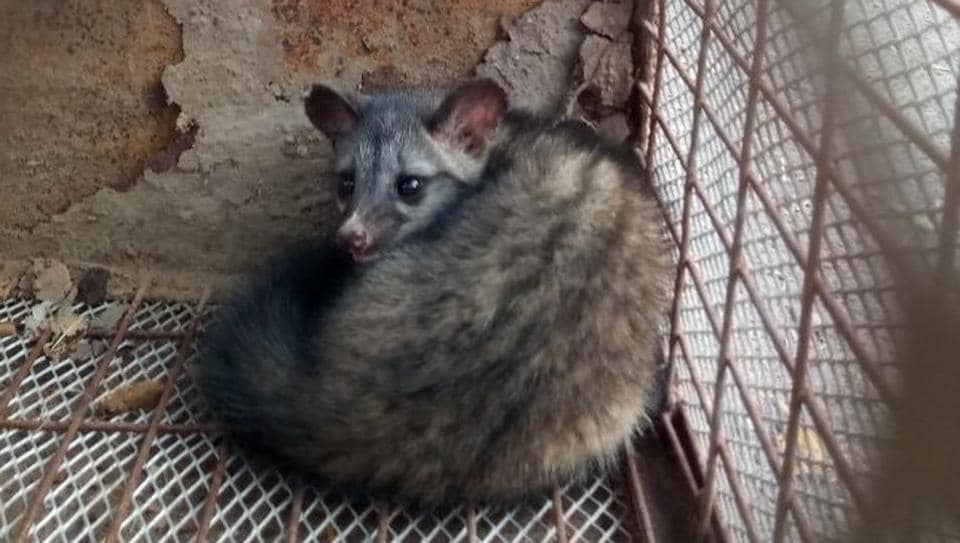 Two Indian palm civet cats were released back into the Aravallis  after being rescued from near Bhondsi jail on Friday.