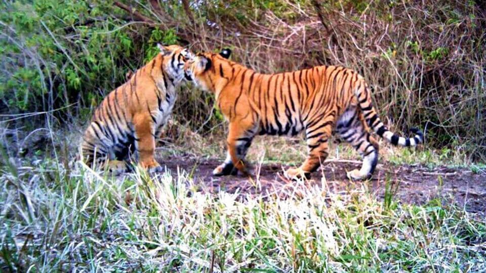 Tigress,Maharashtra,Tiger electrocuted