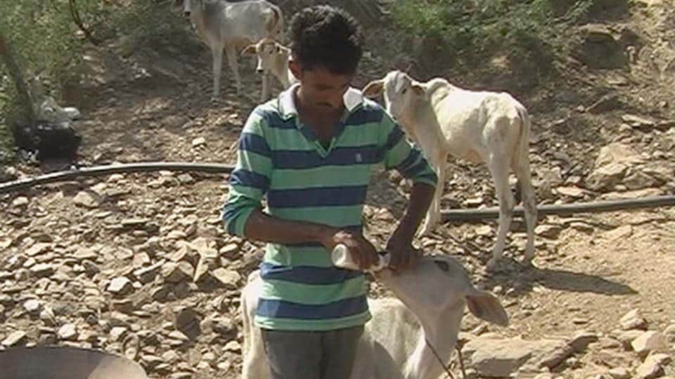A relative of Subba Khan feeds calves with a milk bottle after their mothers were shifted to a cow shelter in Alwar.