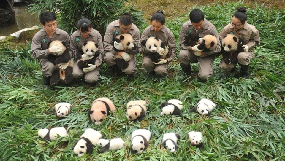 Panda keepers at a conservation centre hold cubs to be displayed to the public in China's south-western Sichuan province.