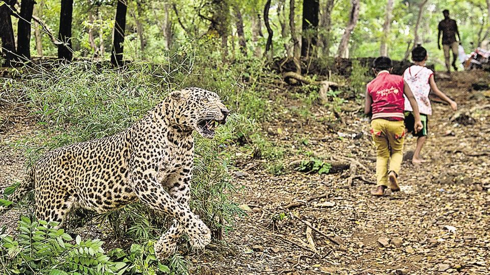 A scene of the leopard attacks recreated with a stuffed leopard.