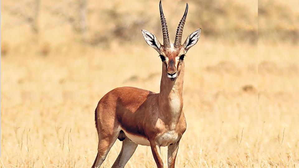 Chinkara,Poaching,Western Rajasthan