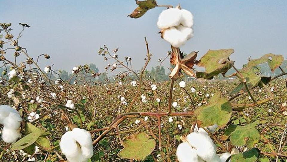 Sale of unapproved and fake cotton seeds has been reported from cotton growing states like Telangana, Andhra Pradesh, Karnataka and Maharashtra.