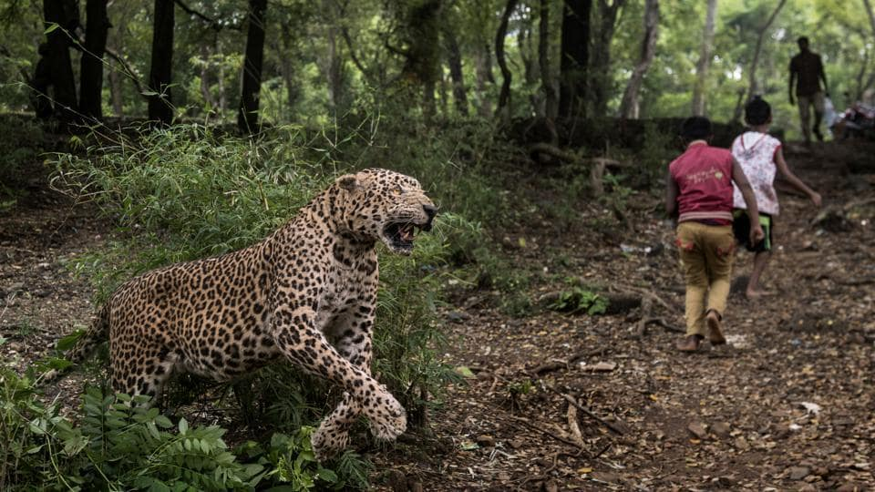 A scene of a leopard attack is recreated through taxidermy by Dr Santosh Gaikwad, associate professor at Bombay Veterinary Collge and wildlife taxidermist, at the Sanjay Gandhi National Park in Mumbai. For over eight months, tribal hamlets around Film City and Aarey Colony, Goregaon wait anxiously for the first light of dawn, plagued by a spurt in leopard attacks. The areas have reported seven attacks and one death this year, the highest since 2002. (Satish Bate / HT Photo)