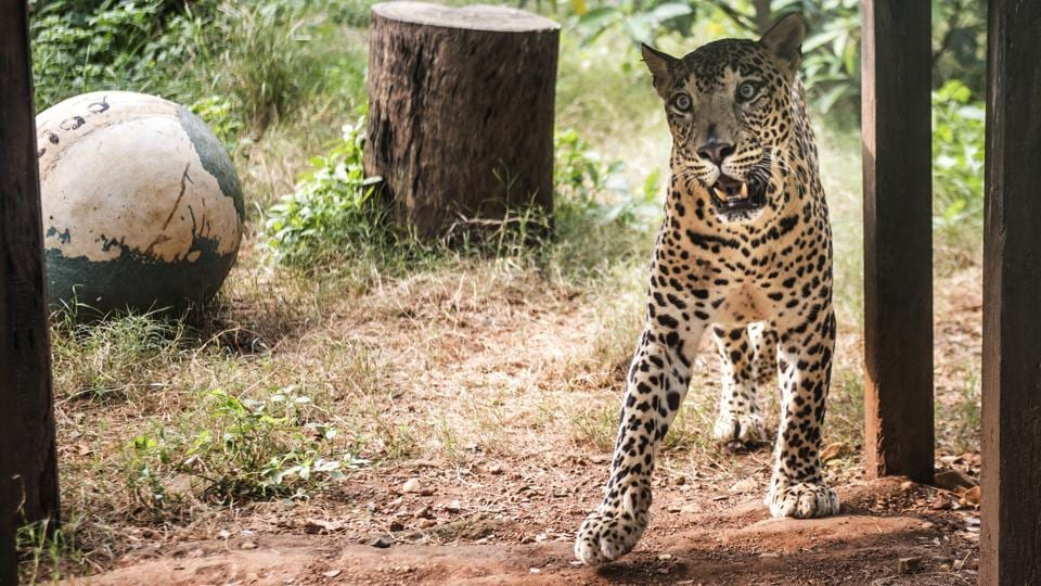 A leopard in captivity at SGNP, Borivli. Tribal leader Prakash Bhoir from Kelti Pada believes that attacks are a result of a decline of the leopards' habitat. 'In the past year, there has been a big rise in encroachments and developmental activities, and infrastructure projects are eating into the forest area. All this has squeezed the leopards' hunting area and pushed them closer to our villages, where there is access to food such as dogs, pigs, and poultry.' (Satish Bate / HT Photo)