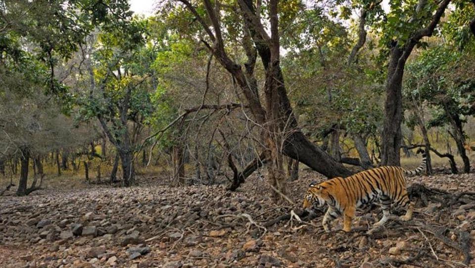 Tiger,Madhya pradesh,Madhya Pradesh